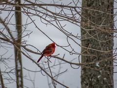 Cardinal in the snow (pvdEric) Tags: trees red snow cold bird cardinal rhodeisland blizzard juno