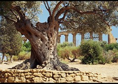 agrigento05 (whirling_dervish) Tags: magnagraecia sicily sicilia agrigento valledeitempli akragas provinciadiagrigento regionesiciliana templed girgenti templeofjunolacinia vaddidilitempri peripteros templeofheralakinia pruvinciadigirgenti archaicdoric
