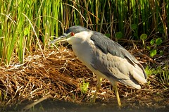 Black-crowned Night-Herons (Gary Helm) Tags: bird nature water birds canon outside fly bill wings florida wildlife flight beak feathers short redeyes blackcrownednightheron widespread wildlifemanagementarea stocky hendrycounty dinnerislandranch sx60hs ghelm4747 garyhelm