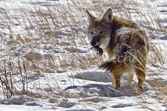 I'm Good (ritchey.jj) Tags: coyote