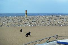 Praia da Aguda (@uroraboreal) Tags: seagulls dogs portugal praiadaaguda uroraboreal