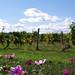 Vignoble à Pomport en Pays de Bergerac