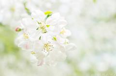 softness (RudaPhoto) Tags: flower macro nature closeup 35mm garden petals nikon blossom meadow poland polska nikkor f18 makro kwiaty macrophoto macrophotography ogrd d7100 zblienie macrodream atclose