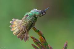 A Floral Disguise (miTsu-llaneous) Tags: plant flower bird nature animal flora nikon hummingbird wildlife trinidad tropical caribbean nikkor 70300mm naturephotography trinidadandtobago wildlifephotography d5200