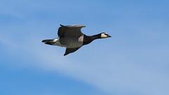 Canadian Goose (f.dalmulder4) Tags: bird olympus canadiangoose mft naturemasterclass micro43 microfourthirds omdem5 40150mmf28pro