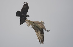 Osprey and Crow (Frank O Cone) Tags: fight wings crow osprey sleepyhollow harassment