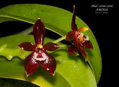 Phalaenopsis cornu-cerui AM/AOS (Orchidelique) Tags: plant orchid flower nature am phalaenopsis exotic phal species aos nmountford ncjc cornucerui