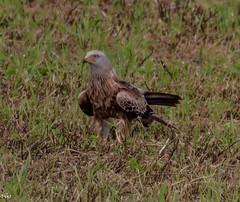 Red Kite (rogerbo69) Tags: wildlife natur vogel byrd wildtier