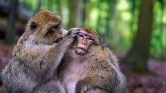 Un signe d'Amiti (Alexandre LAVIGNE) Tags: france nature couple alsace fort singes magot kintzheim louisengival macaquesdebarbarie pentaxk3 smcpentaxda12850135mmsdm