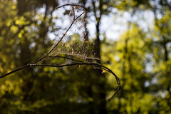 (Ir3nicus) Tags: green nature closeup forest germany nikon branch bokeh outdoor branches sunny cobweb dslr niederrhein d5500