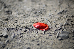 Feldweg (michaelpieper1) Tags: flower blume blte feldweg mohn klatschmohn mohnblume bltenblatt