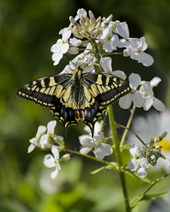 Swallowtail 1 (in explore) (PhilDL) Tags: uk nature butterfly nikon britain norfolk butterflies lepidoptera fen swallowtail marshlands rspb strumpshaw fenlands naturereserves ukbutterflies britishbutterflies britishlepidoptera ukwildlifetrusts britishbutterflyconservation