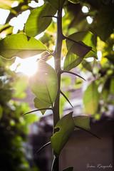 Dangerous Leaves (ivan_rasgado) Tags: light plants naturaleza luz nature leaves lens hojas plantas streak lensflare flare spines leak espinas