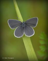 Small Blue - Buckinghamshire (Alan Woodgate) Tags: