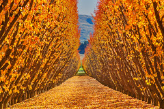The Fruits Of Autumn || CROMWELL || NZ (rhyspope) Tags: new autumn red pope fall leaves lines yellow fruit canon island south tunnel orchard foliage zealand nz queenstown 5d rhys cromwell mkii rhyspope