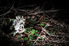the rest of the rest (TSET0147) Tags: 35mm canon skull prime dof bokeh depthoffield wald tier skelett schdel primelens 35l tset festbrennweite canonef35mmf14lusm canon7d canon35l14 tset0147 projekt52wochen diefestbrennweite maybe52weeks