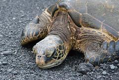 Green Sea Turtle (Chelonia mydas) (ekroc101) Tags: hawaii bigisland endangered cheloniamydas reptiles greenseaturtle punaluu