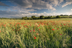 Summer Breeze (Sarah_Brooks) Tags: red summer sky field june movement wheat somerset le poppies grasses somersetpoppies