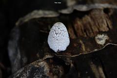 fungus.... (Jinky Dabon) Tags: mushroom fungi fungus basidiomycetes umbrellashapedfungus canoneos1200d