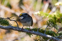 White-throated Sparrow, Ferryland (frank.king2014) Tags: ca canada whitethroatedsparrow aquaforte newfoundlandandlabrador