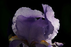Vele (lincerosso) Tags: flowers iris primavera fiori petali luce maggio forme bellezza vele armonia irisgermanica vessilli coloreazzurro