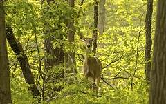 hiding..... (Kevin Povenz) Tags: nature michigan wildlife ottawa may deer 2016 westmichigan ottawacounty jenison nimal grandriverpark sigma150500 canon7dmarkii kevinpovenz ottawacountyparks