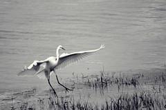 Cliffwood Beach New Jersey (Robert Scifo) Tags: ocean blackandwhite beach water monochrome birds newjersey nikon wildlife shore jersey southjersey creeks waterways cliffwood