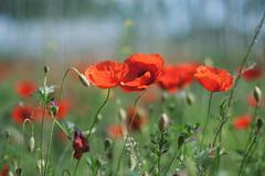 ({Larysa}) Tags: flowers summer flores canon 50mm verano amapolas
