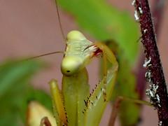Aphids are Finger-Lickin' Good! (bugldy99) Tags: mantis insect african predator arthropoda assassin mantid arthropod hexapod insecta hexapoda mantidae sphodromantis