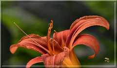 Day Lily Delight (Vidterry) Tags: lily daylily nikkor200mmmicro nikond4s 12500thf9