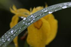Forme (lincerosso) Tags: primavera water drops acqua piante rugiada bellezza gocce irispseudacorus armonia formedellacqua giaggiolodipalude