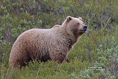 Griz_4H4A3193 (bud_marschner) Tags: alaska brownbear grizzlybear denalinationalpark