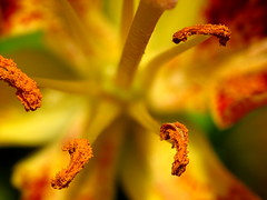 Lily Macro, walking home in June (thatSandygirl) Tags: flowers ohio summer orange macro field june yellow bright blossoms pistil petal stamen blooms depth mountvernon anther canonpowershotsx10is