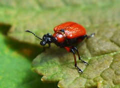 Red Lily Beetle (howell.davies) Tags: uk macro nature up closeup wales insect leaf nikon lily close beetle bbc 1855mm hendy d3200 bbcwalesnature