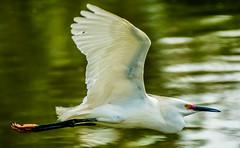 Purpose (enorte2001) Tags: bird nature beautiful texas taylor egrets ernestonortecom