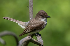 EasternPhoebe_53F5746 (~ Michaela Sagatova ~) Tags: easternphoebe birdphotography michaelasagatova flycatcherd