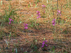 Calopogon multiflorus (Manyflowered Grass-pink orchid) (jimf_29605) Tags: florida sigma olympus wildflowers prescribedburn e5 105mm libertycounty calopogonmultiflorus apalachicolanationalforest longleafpinesavannah manyfloweredgrasspinkorchid olympus4xteleconverter
