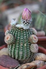 Echinocereus reichenbachii (alloe.) Tags: echinocereus