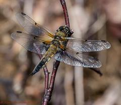 Dragonfly (Timo Halonen) Tags: nikon fx dx libellula fourspottedchaser quadrimaculata ruskohukankorento d5200