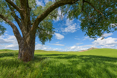 Shade of Green (Bob Bowman Photography) Tags: light plant color tree green grass leaves clouds washington outdoor branches wheat farmland hills shade fields palouse