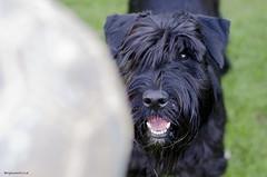 Concentration (bigbluewolf) Tags: dog pet pets black dogs ball garden fun 50mm nikon may schnauzer standard standardschnauzer schnauzers d7000