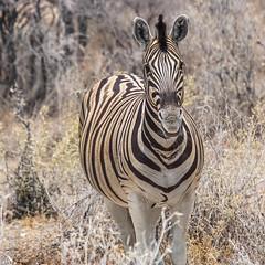DSC08245-20150923 (C&P_Pics) Tags: na namibia burchellszebra etoshanationalpark oshikoto namutonicamptohalalicamp