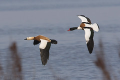 Ruddy Shelduck (Tadorna ferruginea) and Common Shelduck (Tadorna tadorna) (macronyx) Tags: bird birds birding birdwatching nature wildlife aves fglar oiseaux vogel wildfowl waterbird duck and rostand shelduck ruddyshelduck tadorna tadornaferruginea