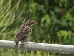 Young Starling (Gareth Lovering Photography 3,000,594 views.) Tags: birds garden feeding wildlife feeder starling olympus sparrow 75300mm lovering em1 garethloveringphotography