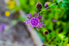 (azyef94) Tags: flower nature photography natur nikkor flickrnature
