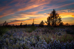 Colors of dawn (P Matthews) Tags: colors oregon wildflowers dawnsunrise