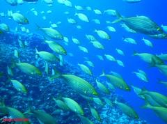 Rush Hour at the Tremiti Islands (RAFFAELE FIOCCA) Tags: tremiti banco puglia gargano greatphotographers sarpa salpa goldliner colorsinourworld