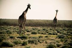 Africa(6) (max5hb) Tags: park nikon jeep 300mm safari national tc giraffes af nikkor f4 etosha