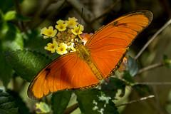 Julia Butterfly in my garden -EXPLORED- (PriscillaBurcher) Tags: flambeau nymphalidae dryasiulia juliabutterfly juliaheliconian theflame mariposasdecolombia butterfliesfromcolombia mariposaflama l1030467