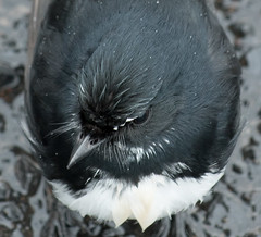Willie Wagtail (Merrillie) Tags: bird nature animal fauna outdoors photography nikon natural outdoor wildlife australia nsw newsouthwales centralcoast wagtail woywoy williewagtail d5500 nswcentralcoast centralcoastnsw